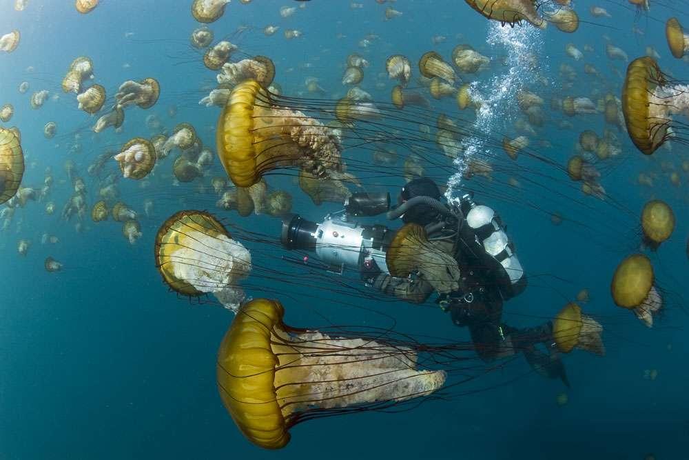 Les méduses dorées (Chrysaora fuscescens) et leur habitat