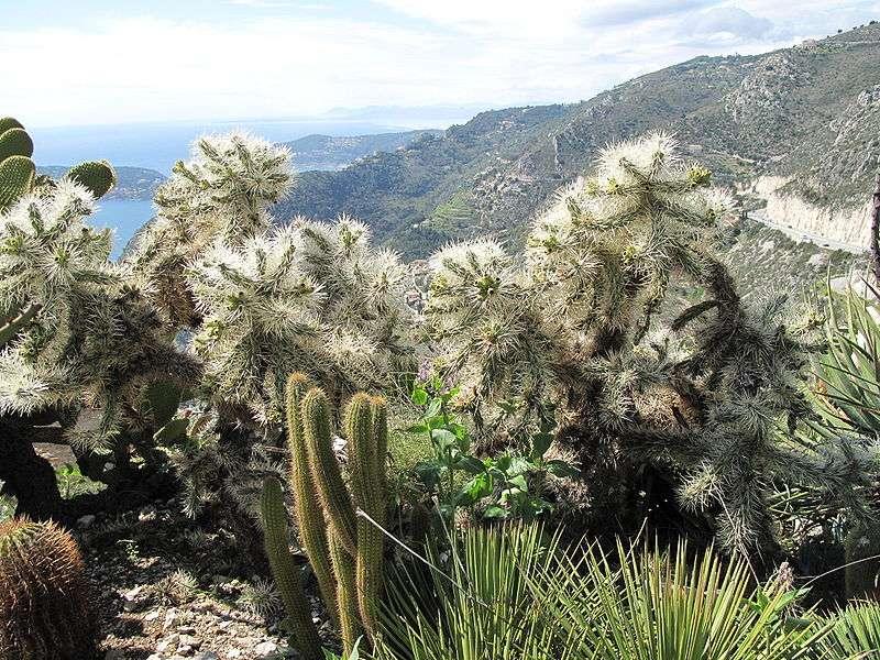 Le cactus Cylindropuntia rosea dans le jardin botanique d'Èze