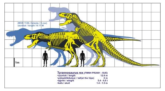 Tyrannosaurus rex. © Kendi çalışmam GNU Free Documentation License version 1.2