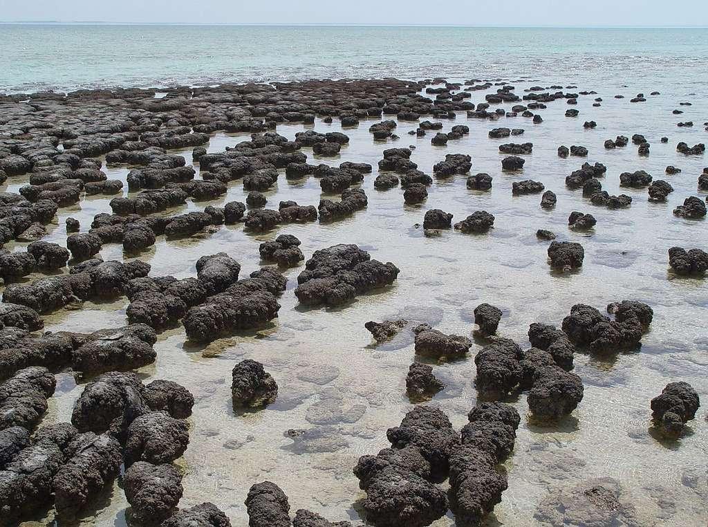 Stromatolithes actives, Australie © Paul Harrison, CC BY-SA 3.0, via Wikimedia Commons