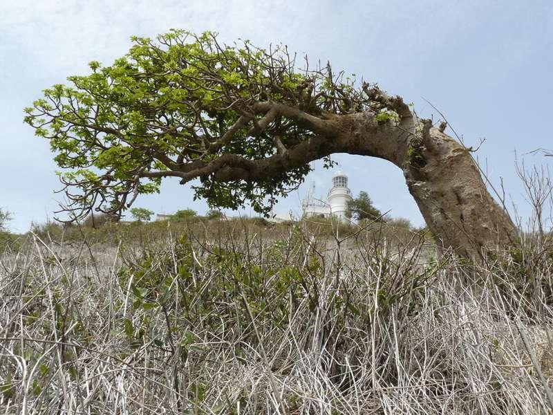 Baobab tordu sur la colline des Mamelles, à Dakar