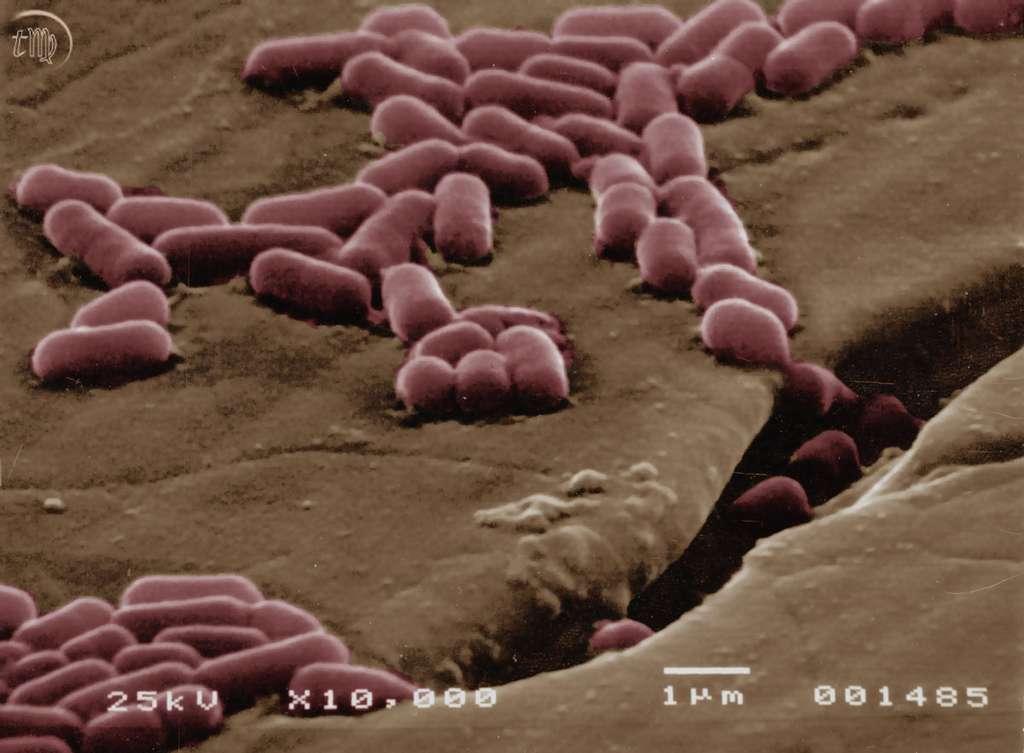 Listeria monocytogenes adhérant sur de l'acier. Les microfissures invisibles à l'œil sont des tranchées pour les bactéries. © Thierry Meylheuc, plate-forme MIMA2, Micalis, Massy/Inra
