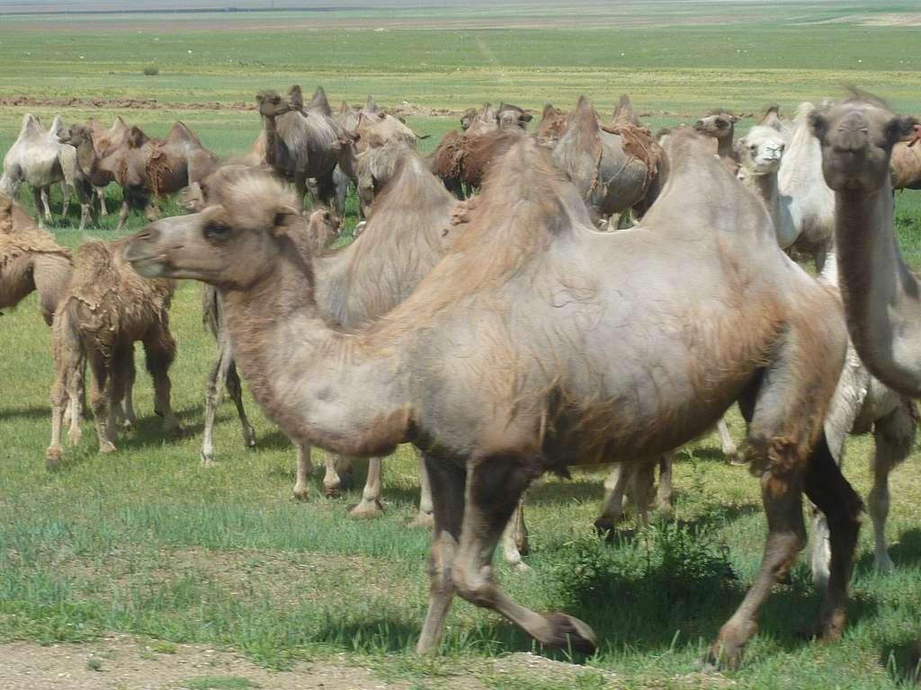 Troupeau de chameaux en Asie centrale. © Ricardo N. Cabral, Flickr, cc by nc 2.0