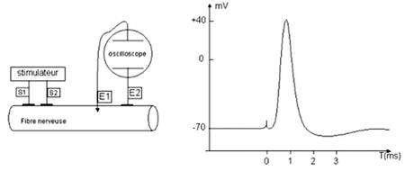 Enregistrement d'un potentiel d'action. Le potentiel de membrane est de -70 mV au repos. Suite à la stimulation de la fibre nerveuse, on observe une dépolarisation de la membrane. © Banque de schémas de SVT de l'académie de Dijon