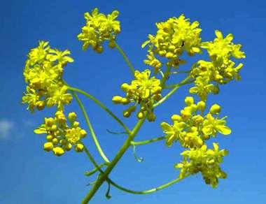 Les fleurs d'Isatis tinctoria, plante à l'origine du pastel. © A Mrkvicka, DR