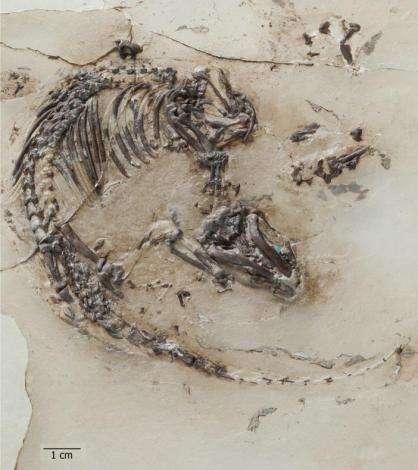 Le fossile de Spinolestes xenarthrosus transféré dans une plaque de résine époxy et dégagé à l'acide. Barre d'échelle : 1 cm. © G. Oleschinski