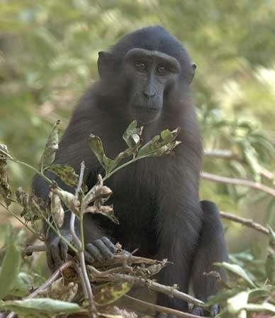 Macaque de Tonkean (Macaca tonkeana). © Georges Prats - Reproduction et utilisation interdites