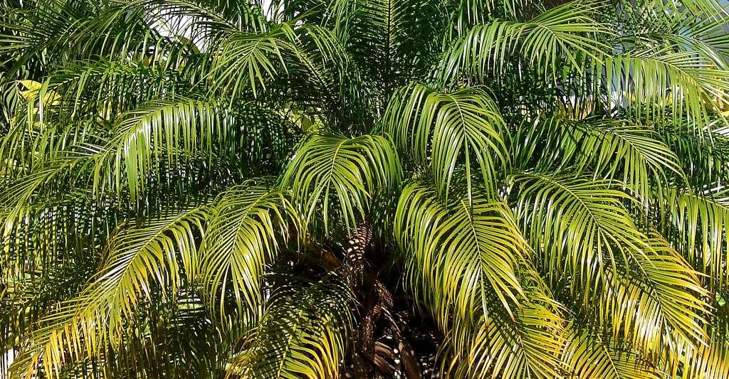 Phoenix roebelenii, ou dattier du Mékong, est un palmier d'intérieur. © Forest & Kim Starr, CC by 3.0