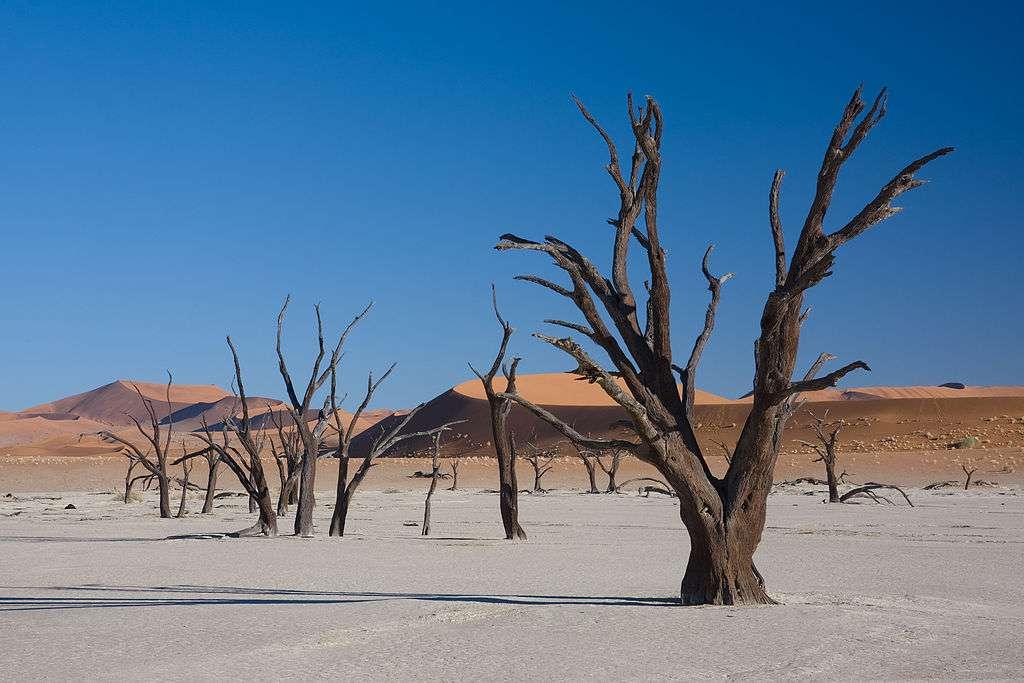 Des acacias (Acacia erioloba) morts à Dead Vlei, près de Sossusvlei, en Namibie. © Ikiwaner, Wikimedia Commons, GNU 1.2