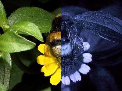 Les abeilles perçoivent la lumière ultraviolette (à droite), qui n'est pas dans le spectre de la lumière visible pour l'Homme (à gauche). © Klaus Schmitt