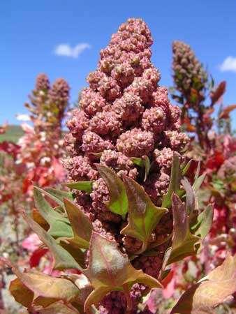 En Bolivie, la culture du quinoa a permis à de nombreuses familles de ne pas s'exiler vers les villes. Mais de nouveaux problèmes se posent, comme celui de la cohabitation difficile entre cultivateurs et éleveurs, de lamas notamment. © IRD - T. Winkel