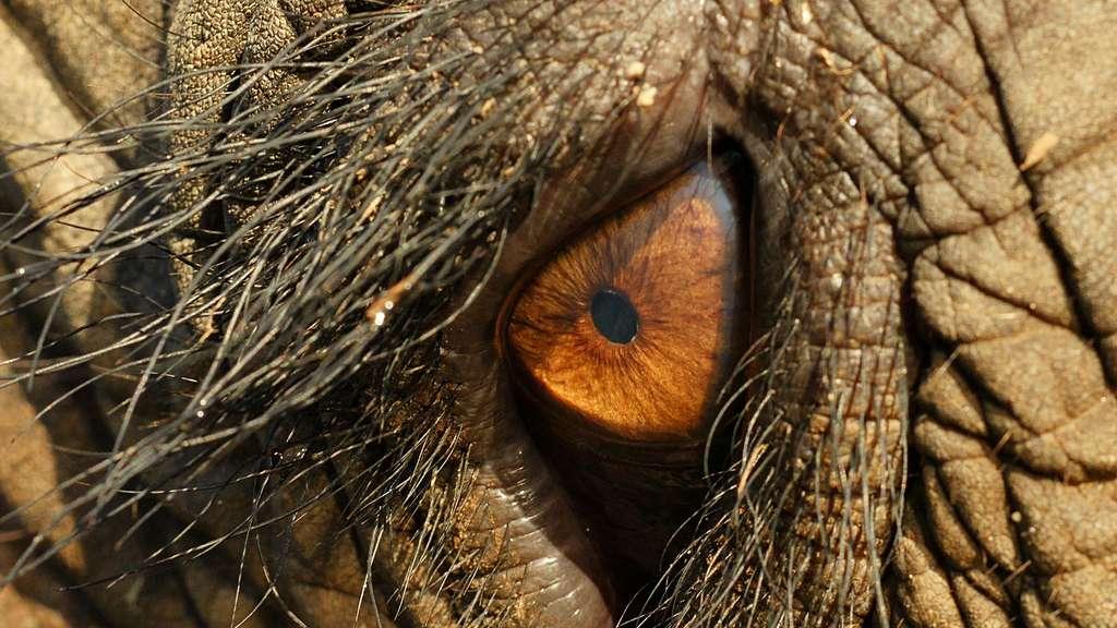 Le regard de l'éléphant et ses grands cils