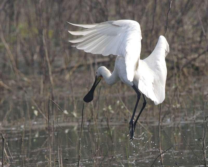 Habitat type de la spatule blanche. © Lip Kee, CC BY-SA 2.0
