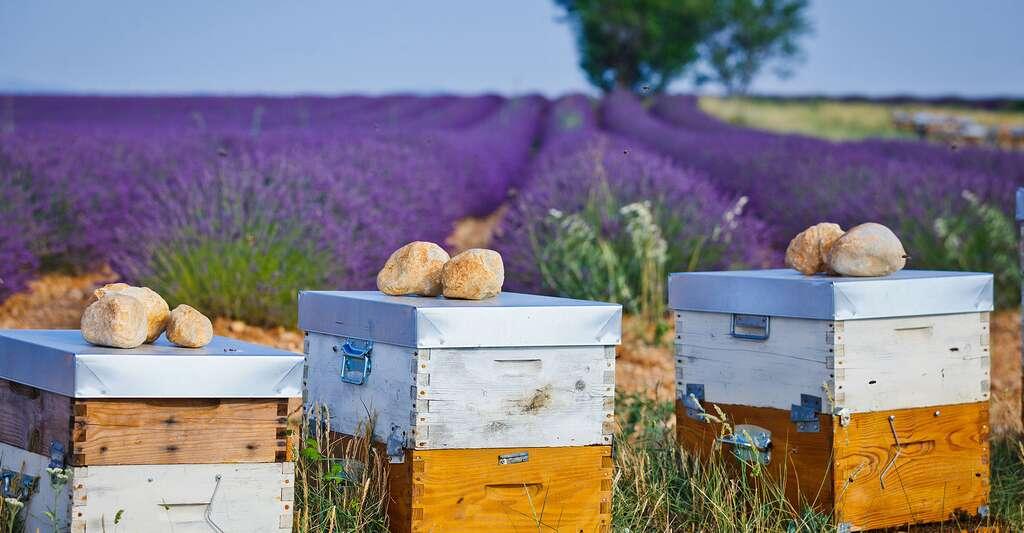 Des ruches installées près de champs de lavande, en Provence. © Max Topchii, Shutterstock