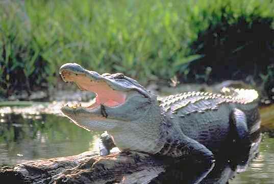 Un alligator d'Amérique (Alligator mississippiensis). Son museau est large et arrondi, en comparaison de celui d'un crocodile. On remarque aussi sur la mâchoire du bas une dent (ici au niveau de coulées noires) qui reste à l'extérieur quand l'animal referme gueule. © DP