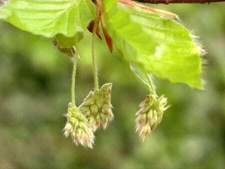 Fruits de hêtre. © Velela domaine public