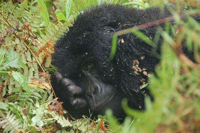 Grâce au séquençage complet du génome des gorilles, il est désormais possible d'identifier les origines de ceux qui ont été capturés ou tués illégalement. Des informations utiles aux enquêtes pour engager des poursuites contre les braconniers. © Dylan Walters, Wikimedia Commons, CC by-sa 2.0