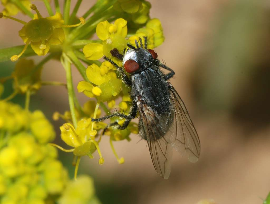 La larve de Wohlfahrtia magnifica dévore les organes de l'intérieur. © Alvesgaspar, CC by-sa 3.0