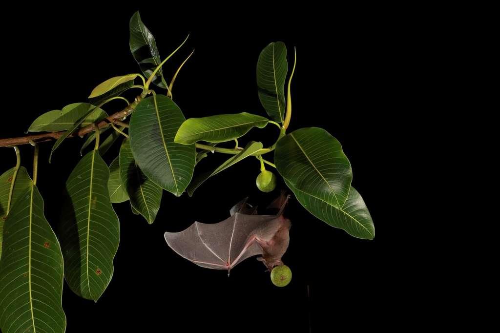De loin la chauve-souris la plus commune dans les forêts tropicales de plaine du Mexique au nord de l'Amérique du Sud, la chauve-souris jamaïcaine, connue des scientifiques sous le nom d'Artibeus jamaicensis, se régale de figues et d'autres fruits. Ces chauves-souris frugivores font des choix irrationnels sur ce qu'il faut manger. © Christian Ziegler, Smithsonian Tropical Research Institute