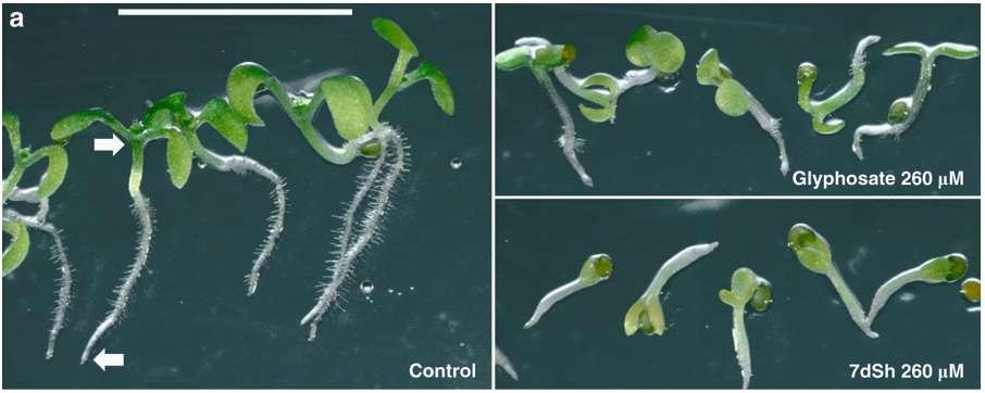 Le 7dSh stoppe la croissance de la plante. Après sept jours, il montre une efficacité supérieure au glyphosate à dose identique. © Klaus Brilisauer et al, Nature Communications, 201