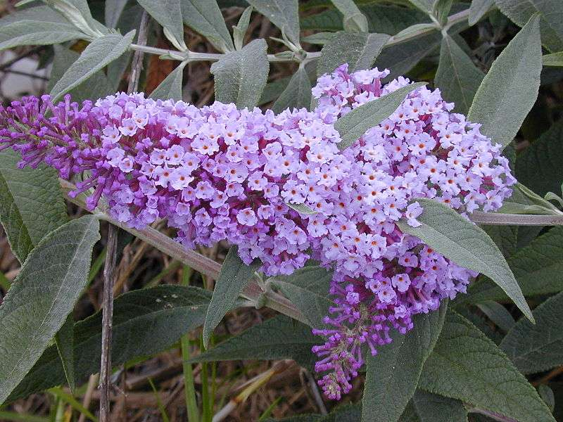 Buddleia davidii. Forest & Kim Starr, licence Creative Commons Paternité 3.0 Unported