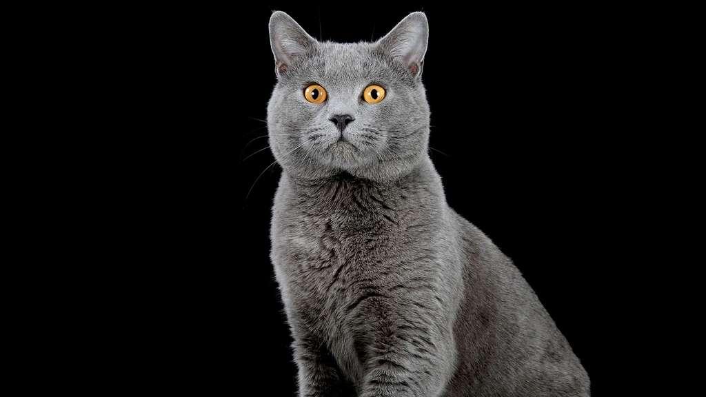 Le chartreux, un des plus vieux chats du monde