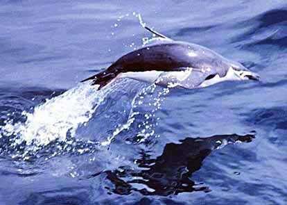 Manchot à jugulaire à la pêche. © Kils, GNU FDL Version 1.2