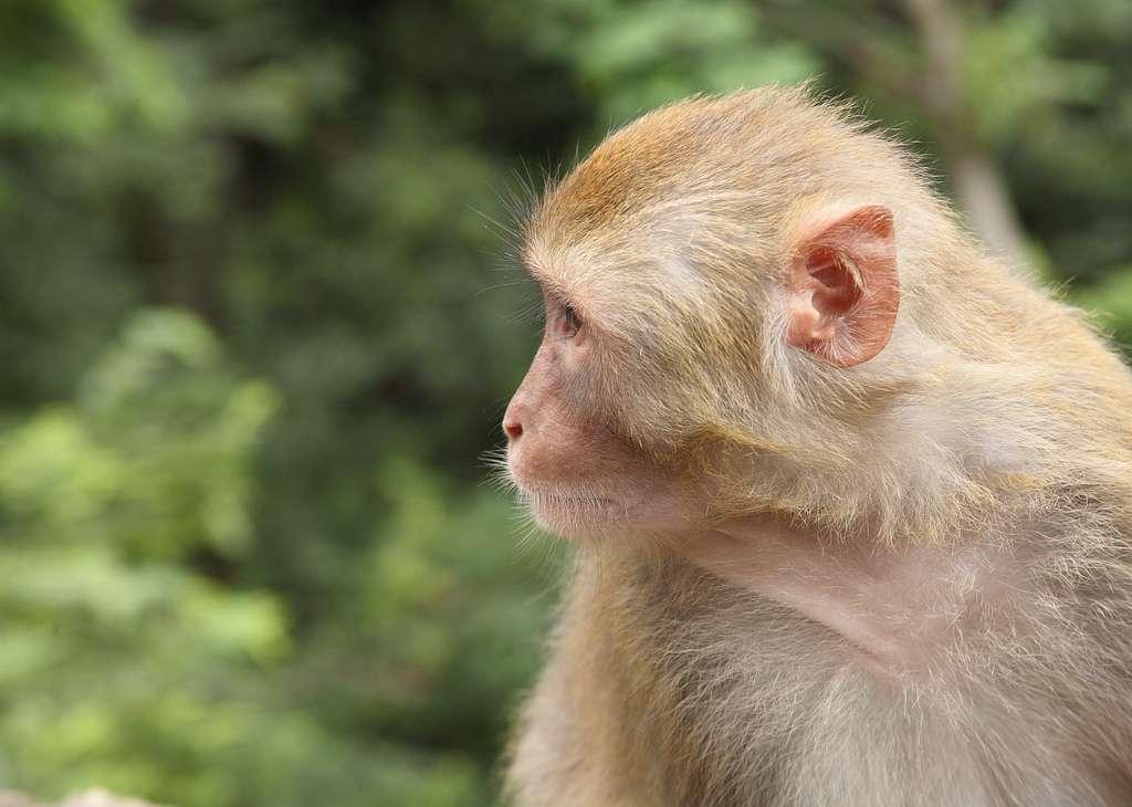 Le macaque rhésus Macaca mulatta, utilisé pour cette expérience de vaccin contre le Sida, a souvent joué les rôles de cobaye. Le rhésus des groupes sanguins vient de ce petit singe, sur lequel on l'a découvert. © Ssppeeeeddyy, Flickr, cc by sa 2.0