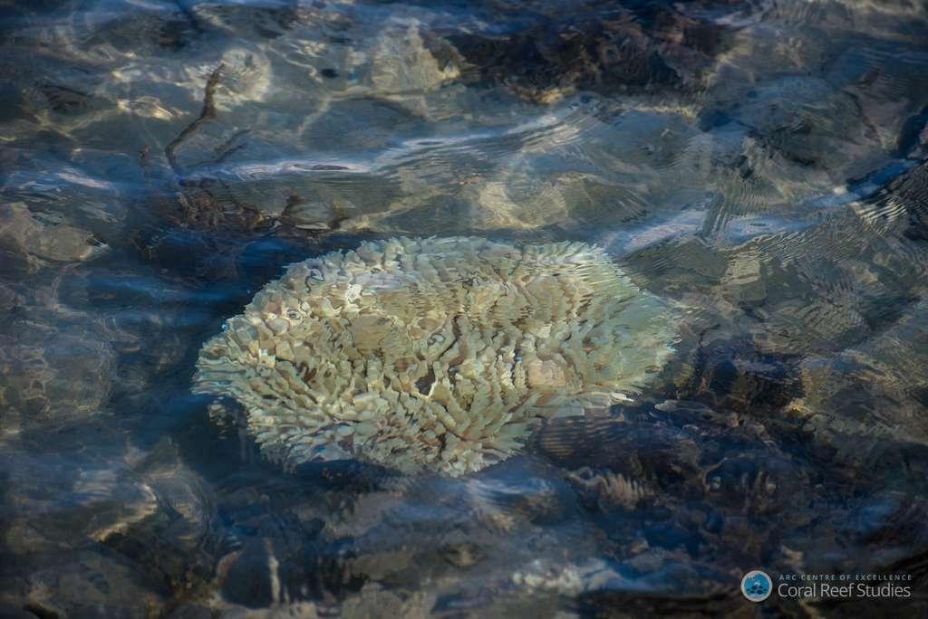 Lorsque la température de l'eau s'élève, le corail expulse son algue symbiotique et blanchit. Chaque petit polype ainsi démuni d'apports nutritifs meurt. Le blanchissement des coraux est donc le dépérissement des coraux. Le phénomène touche actuellement le plus grand récif du monde, la Grande Barrière de corail, en Australie. © Terry Hughes, ARC Centre of Excellence for Coral Reef Studies