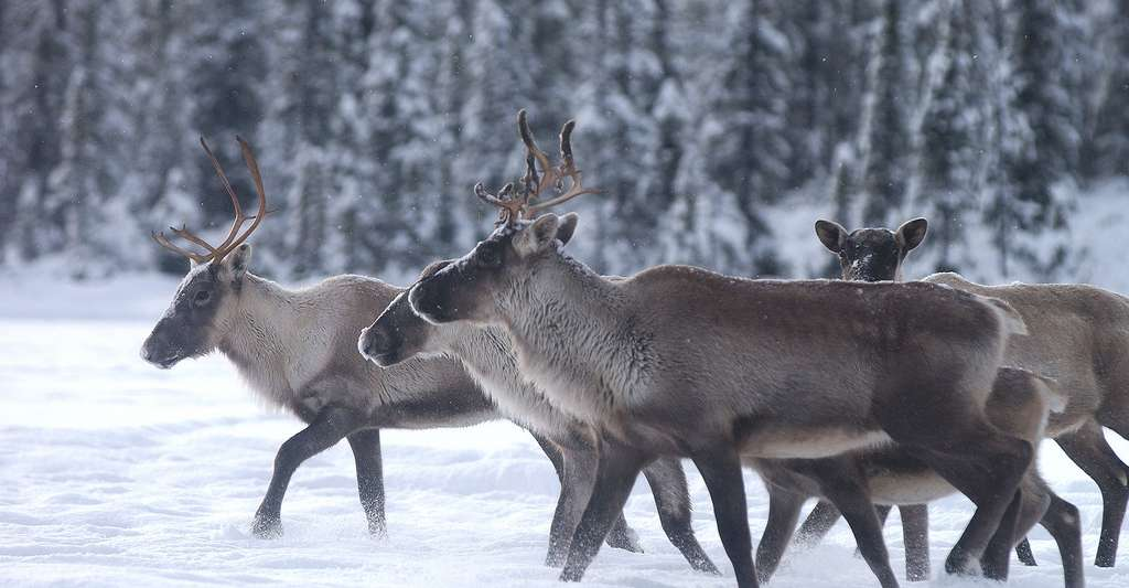 Harde de caribous. © Peupleloup, Wikimedia commons, DP