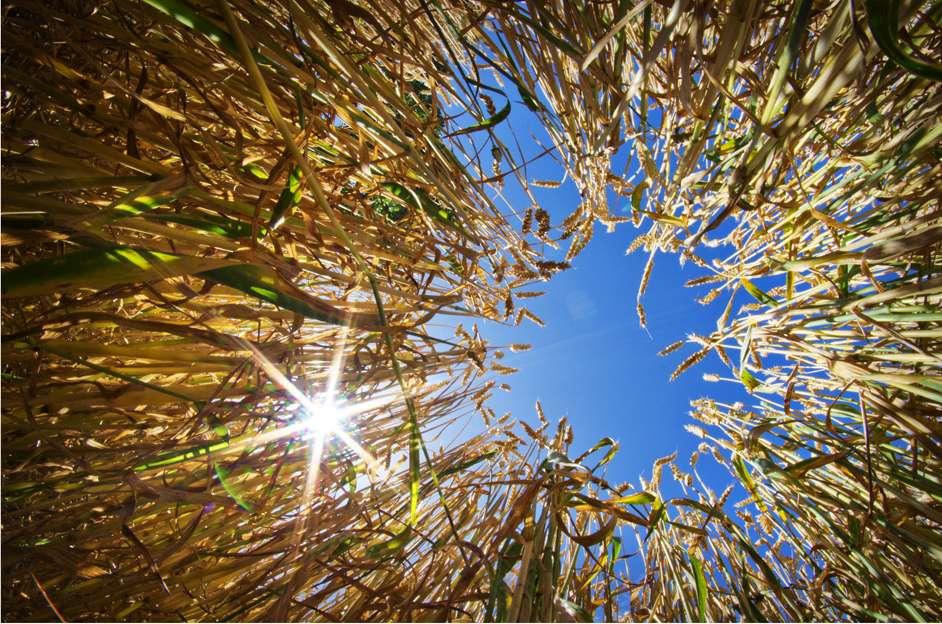 Le système « Protection intégrée typique (n°4) » a également fait l'objet d'une densification des semis. En grandissant, les plantes cultivées étouffent les adventices. Ces dernières ont donc accès à moins d'énergie (baisse de la photosynthèse), ce qui ralentit leur croissance et la production de semences. © SFB579, Flickr, cc by nc sa 2.0