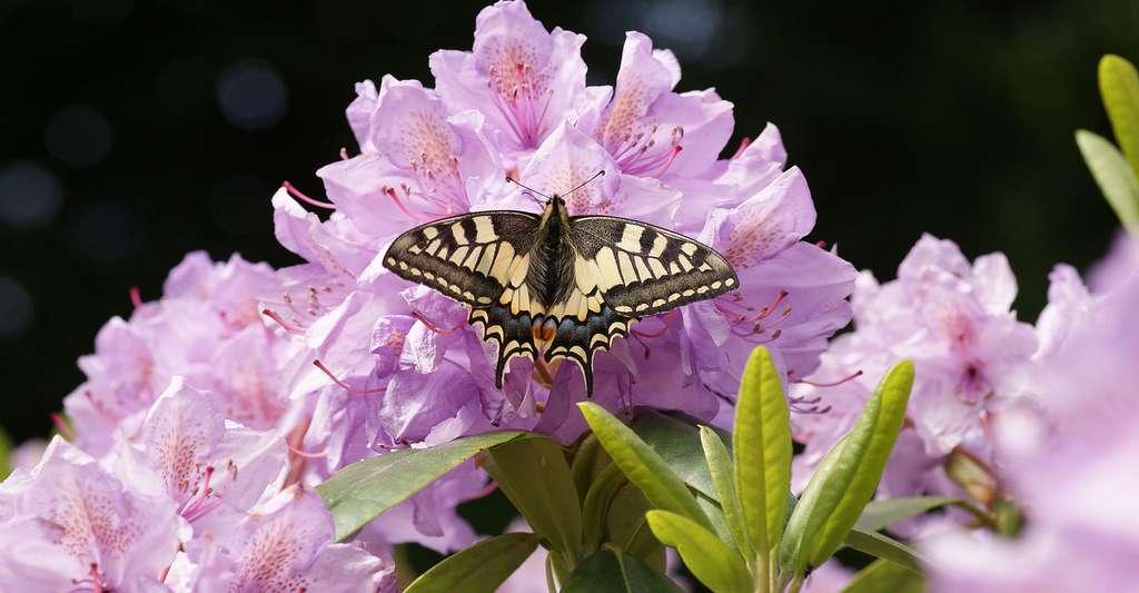 Machaon : il existe dans la nature de nombreux exemples de symétrie par réflexion, ou symétrie axiale comme les ailes de papillon. © Wensbos - Domaine public