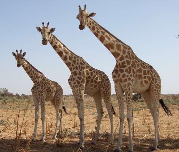 Girafes blanches à Kouré, au Niger. © Clémence Delmas, Wikipédia, CC by 3.0