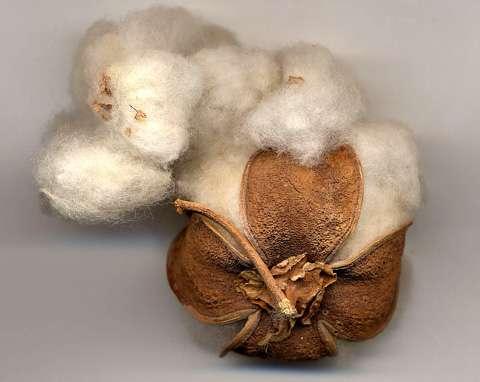 Le fruit de coton est une capsule à cinq loges © B.Media