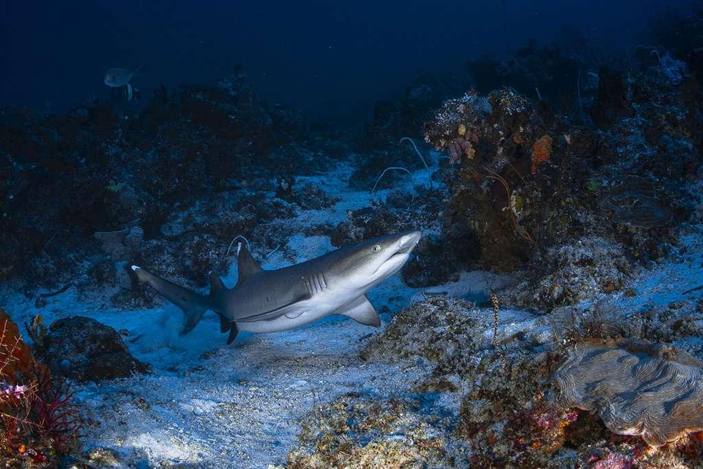 Un requin-corail (Triaenodon obesus) se reposant sur une petite zone de sable à Cape Kri. © Gabriel Barathieu, tous droits réservés