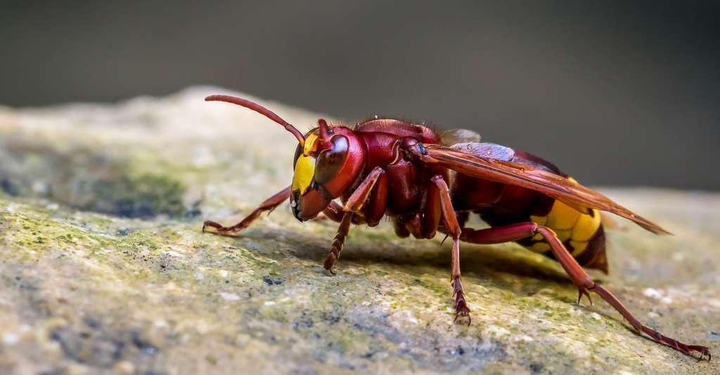 Certaines personnes présentent des allergies aux piqûres d'insectes. Ici, un frelon oriental. © Gaynor Hastilow, Shutterstock