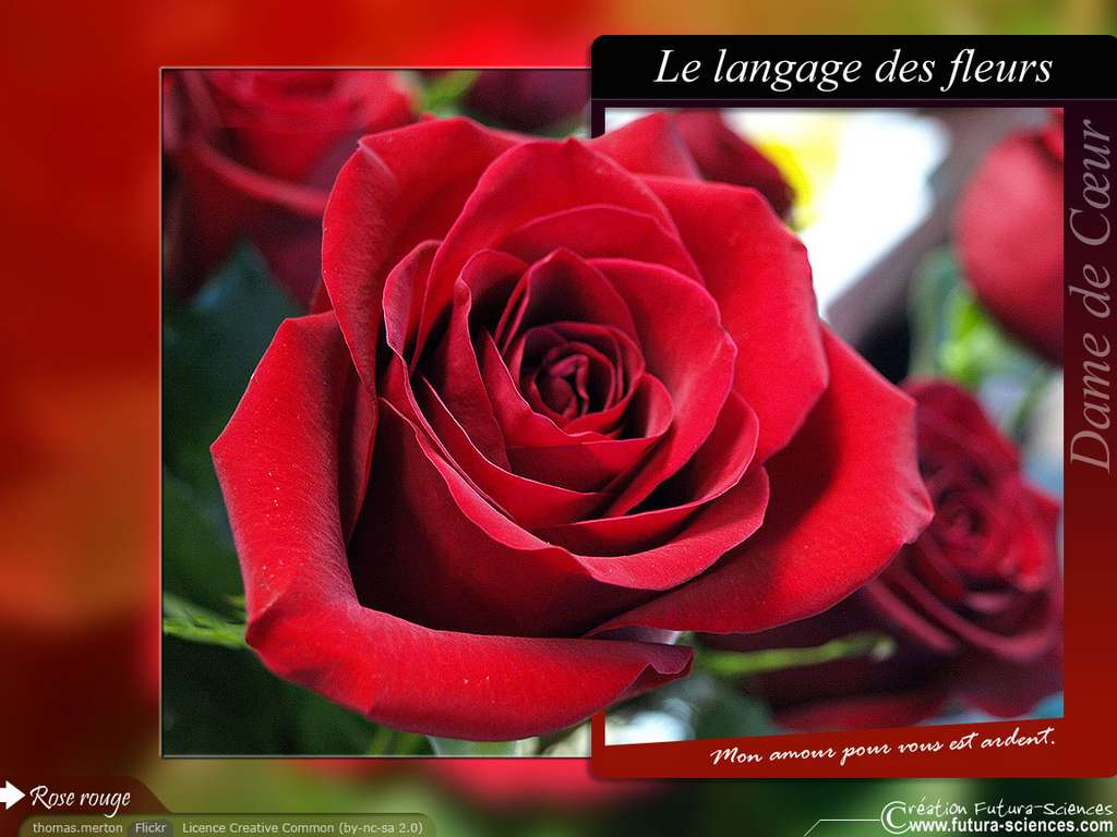 Rose rouge amour ardent