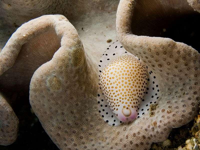 Un mollusque gastéropode de toute beauté (Calpurnus verrucosus)