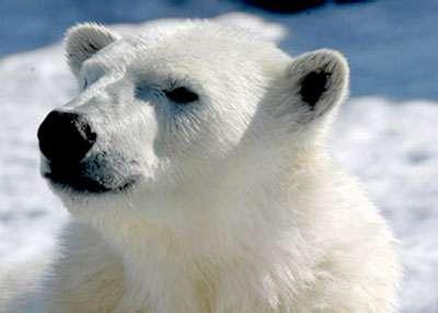 Les poils de l'ours blanc, un véritable camouflage adapté à l'Arctique.