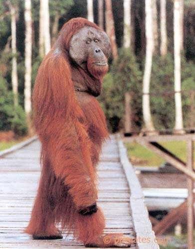 Orang Outang de Bornéo