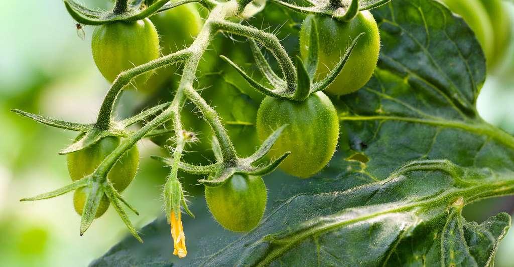 Comment bien cultiver ses tomates au jardin ? © Gellinger, CCO
