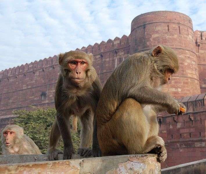 Macaques rhésus à Agra. © Thomas Schoch, GNU FDL Version 1.2