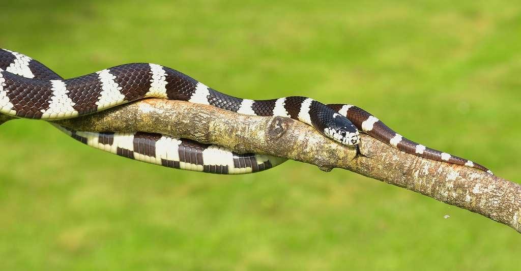 Les serpents peuvent détecter le rayonnement infrarouge grâce à leurs fossettes loréales. © Sipa, Domaine public