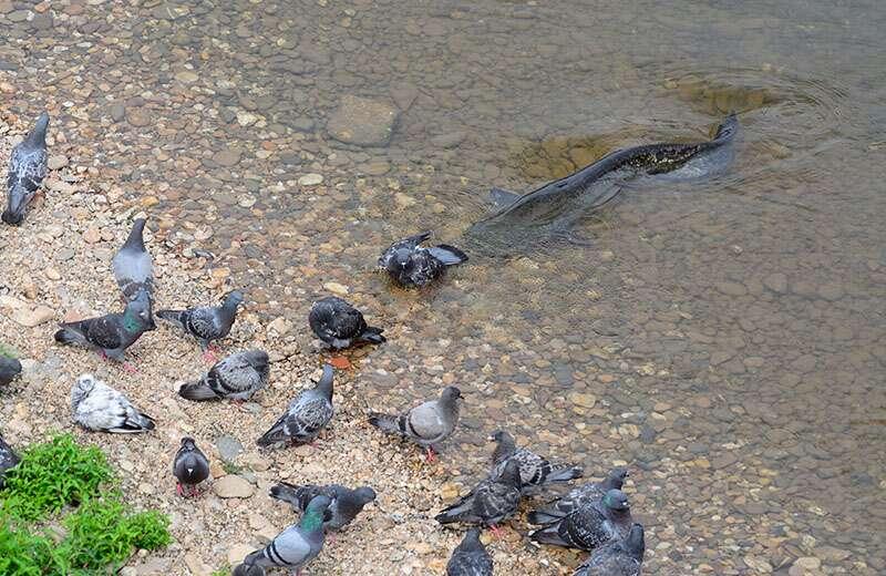 Quand un silure attaque les pigeons ! © Rémi Masson, tous droits réservés