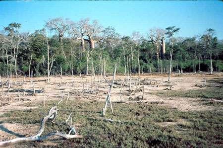 Contact du tanne avec la forêt dense sèche à baobabs dans la région de Morondava à Madagascar © JM Lebigre Reproduction et utilisation interdites