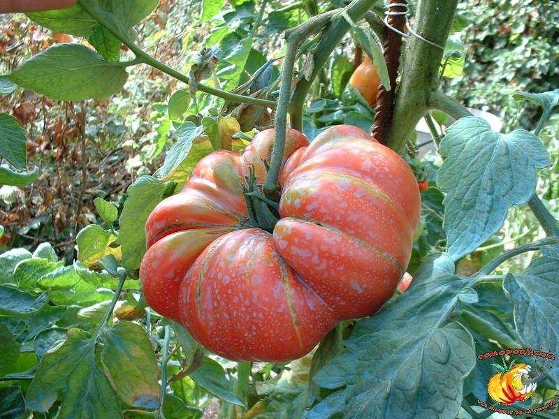 La tomate Potiron Écarlate rappelle la forme d'un potiron. © Tomodori