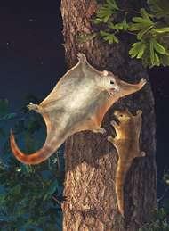 Vue d'artiste de Volitcotherium antiquus. Comme les actuels écureuils volants, il ne faisait que planer pour quitter l'arbre ou passer sur celui d'à côté, peut-être quand arrivait un gigantesque dinosaure mangeur de feuilles. Crédit : Chuang Zhao and Lida Xing