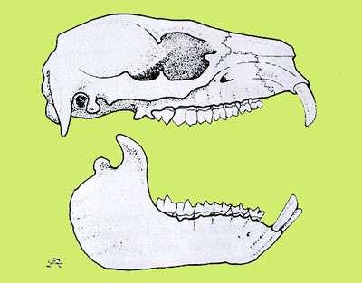 Crâne de daman. © Reproduction et utilisation interdites