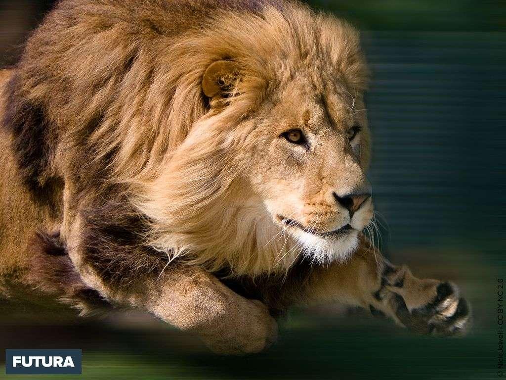 Lion en chasse