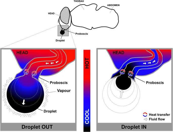 La technique de rafraîchissement observée de près. La goutte de salive (droplet) sort de la tête (head) au niveau de la trompe, ou proboscis (à gauche). Le liquide s'évapore en partie (vapour), ce qui refroidit le liquide, lequel est ensuite avalé (à droite). Un modèle numérique a reproduit les échanges de chaleur (Heat transfer), visualisé par les couleurs, le bleu pour le froid, le rouge pour le chaud. Les flèches blanches indiquent le mouvement du liquide (Fluid flow). © Guilherme Gomes et al., Nature